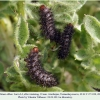 melitaea abbas turanchay larva4 after1